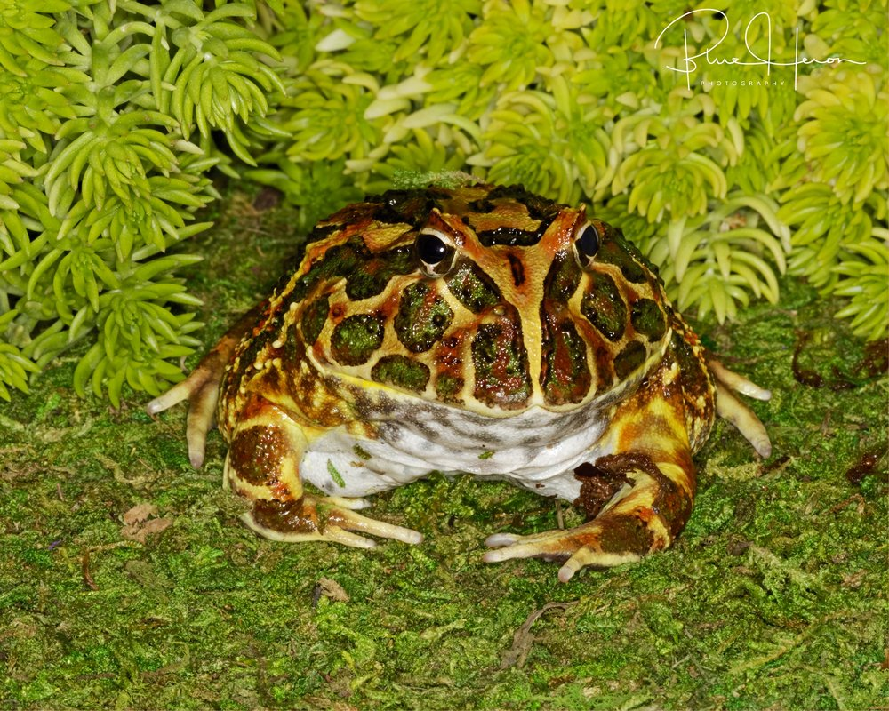 Pacman Toad..
