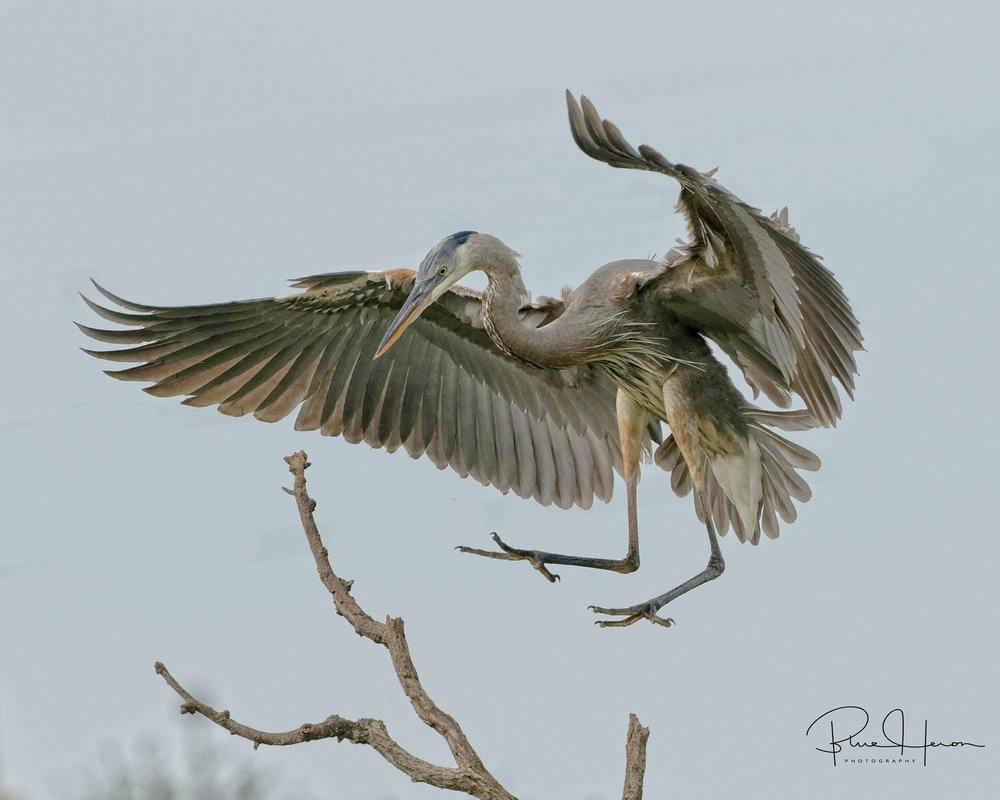 Great Blue Heron Touchdown with full flaps applied to land on a narrow branch..