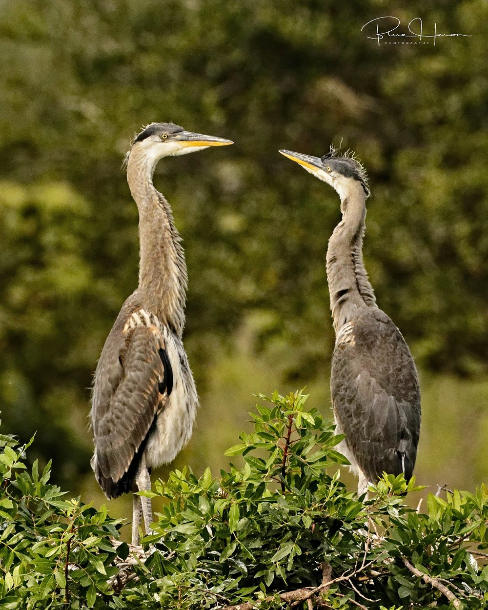 Only the strong survive...Sibling rivalry with Great Blue Heron chicks..they will be fledging soon..