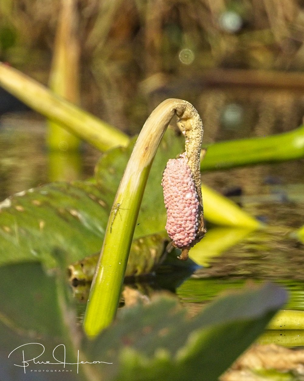 This species of apple snail eggs with its pink hue is the Island Apple Snail.  It is replacing the diminishing American Apple Snail whose eggs are more grayish in color.