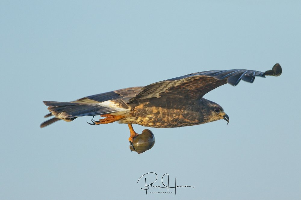 Female Snail Kite bringing back an apple snail for lunch...
