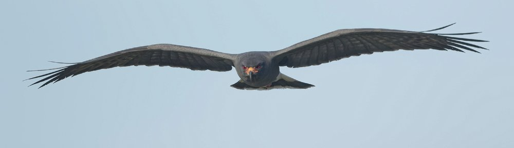 Male Snail Kite hovers over the marsh looking for snails.