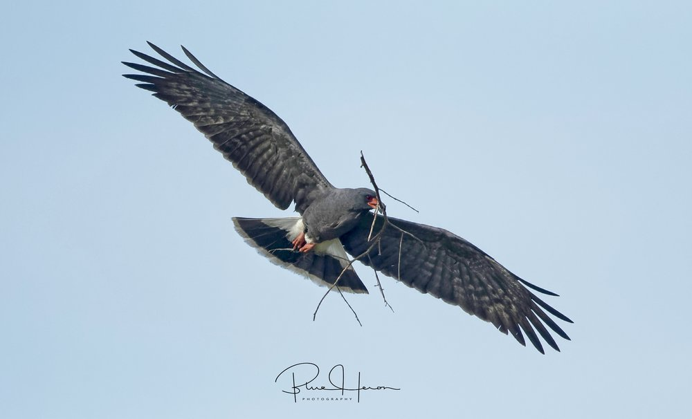 Snail Kite male bringing in nesting material