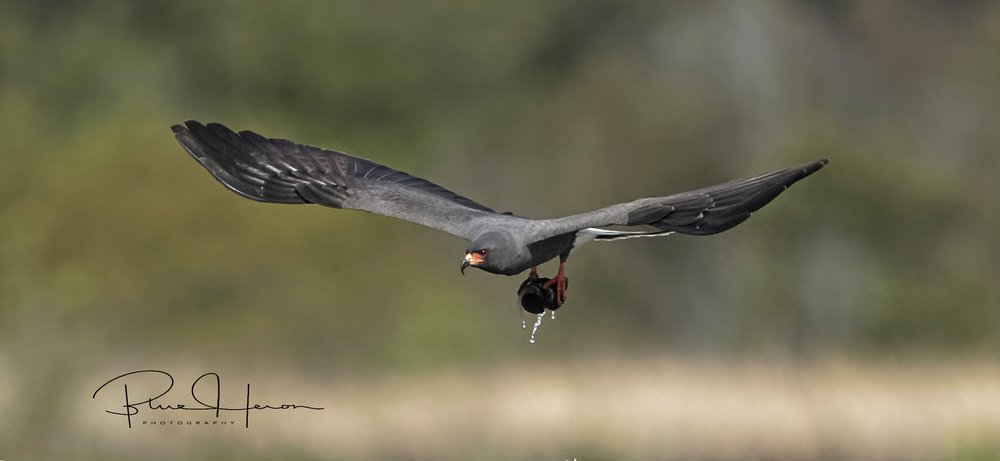 Male Snail Kite bringing in snails...