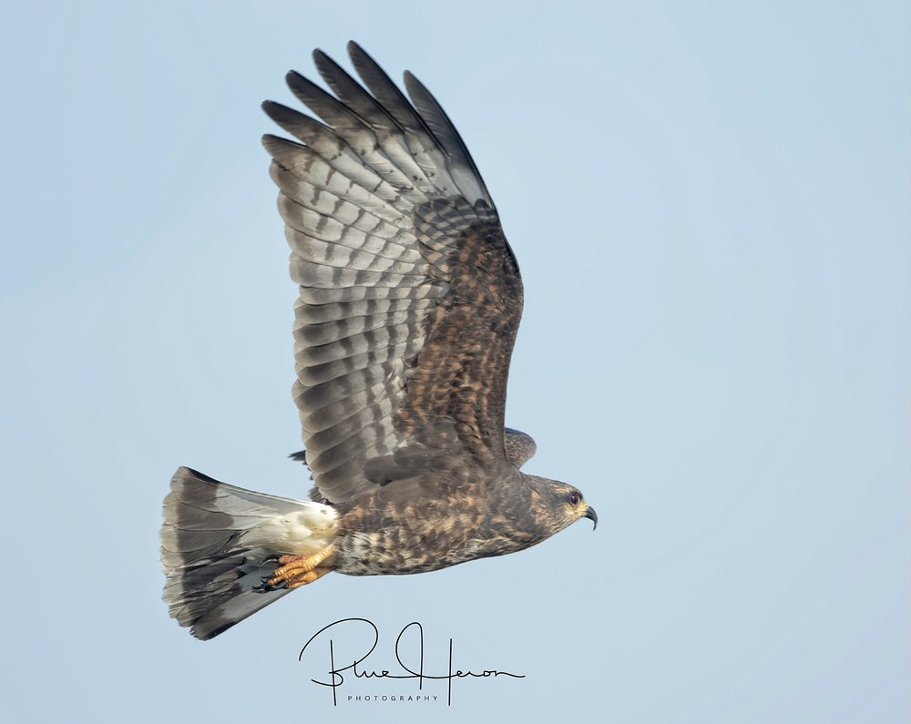 Female Snail Kite in flight