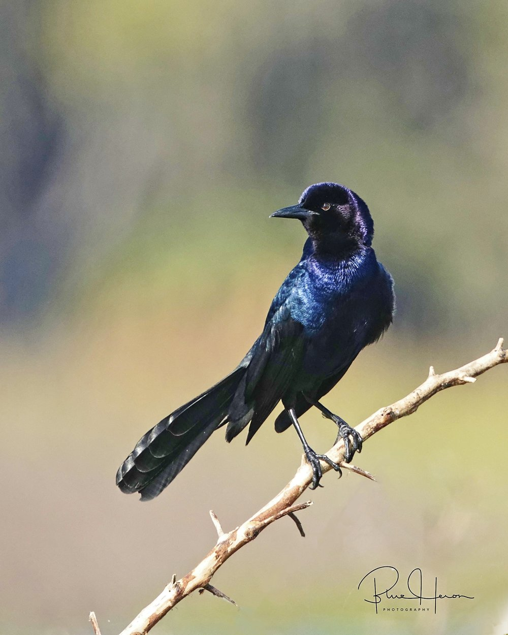Boat-tailed Grackles also love to steal the Snail Kites morsels..