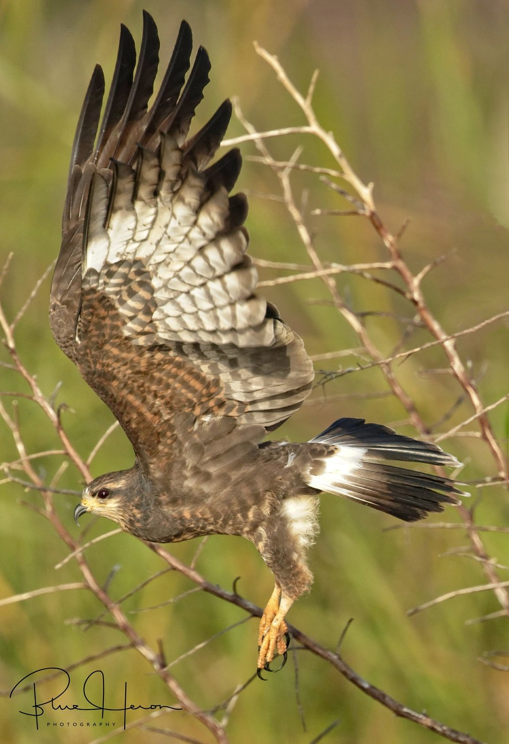 Female Snail Kite lifts off to hunt for more delicious escargot..