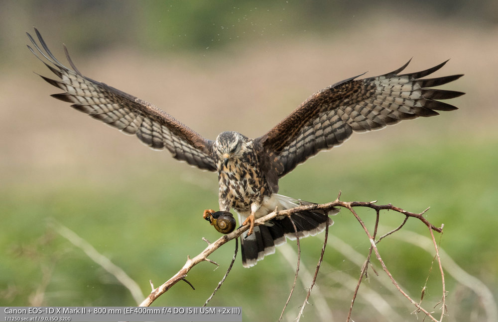 Female Snail Kite with snail on perch...Photo by and with permission of Michael Tapes