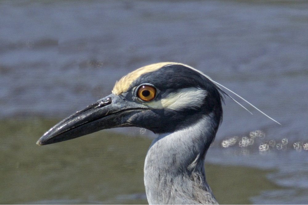 It's Springtime...George the Yellow-crowned Night heron is back with his family!