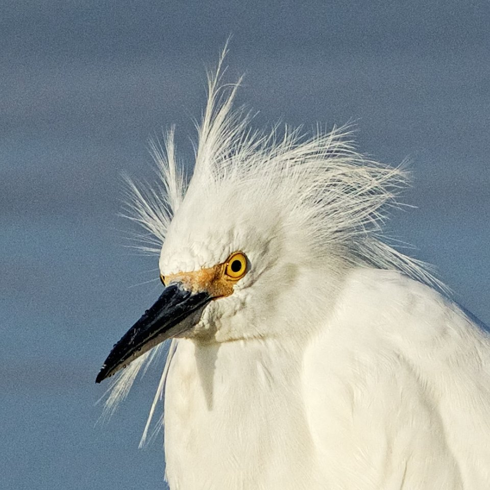 Bad hair feather day for a Snowy Egret
