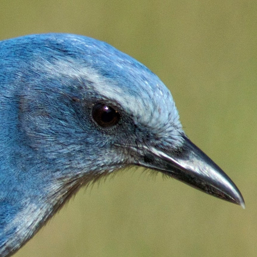 I'm unique to Florida..I am the Florida Scrub Jay
