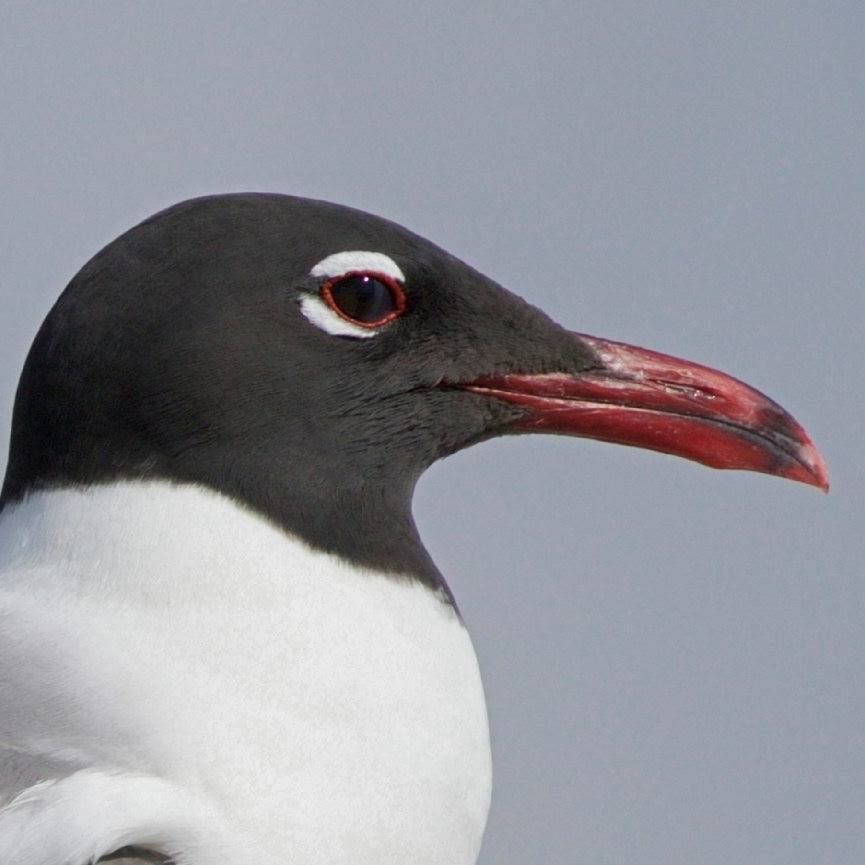 He who laughs last is a Laughing Gull