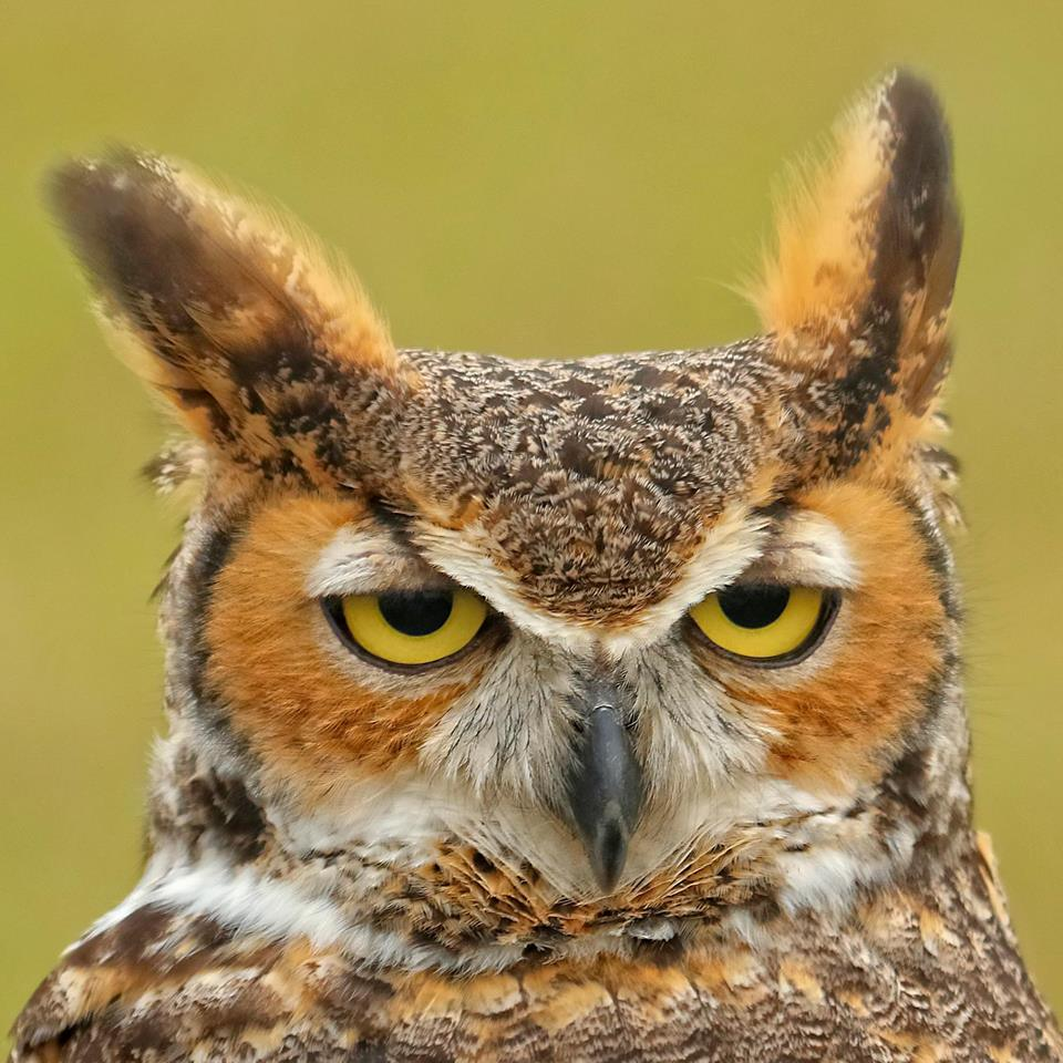 Who do you think you are? I am the Great Horned Owl