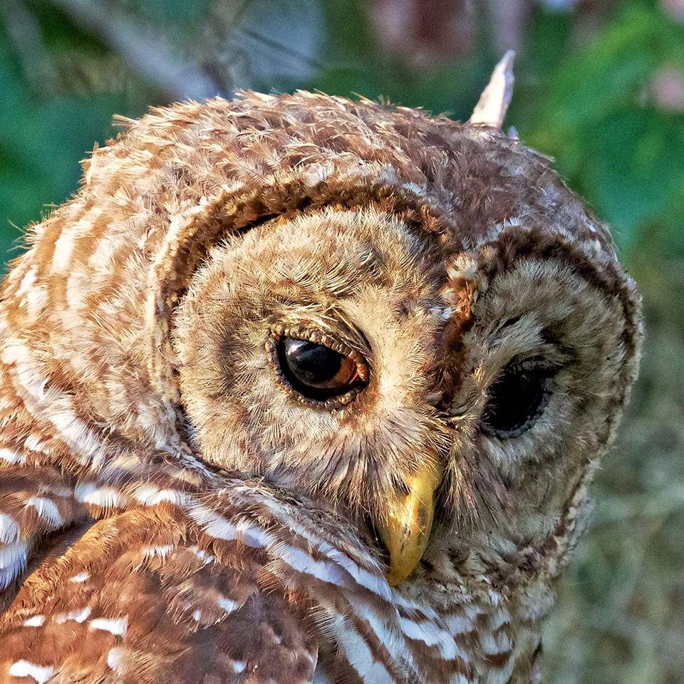 Barred Owl,,note the way the feathers focus sound to the ears with the eye mask
