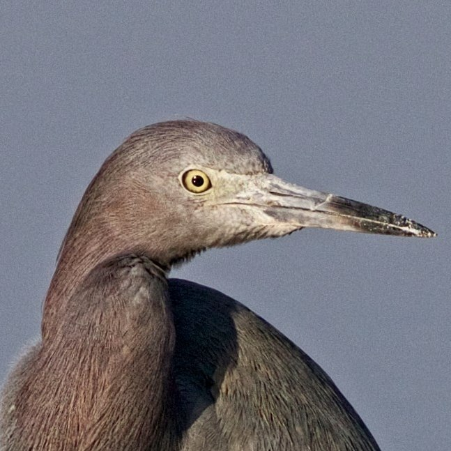 Broward Bob, the Little Blue Heron