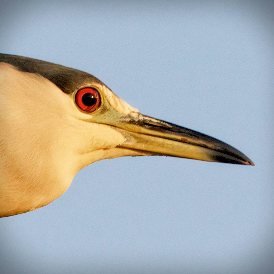 Black-crowned Night Heron...note the nictitating membrane