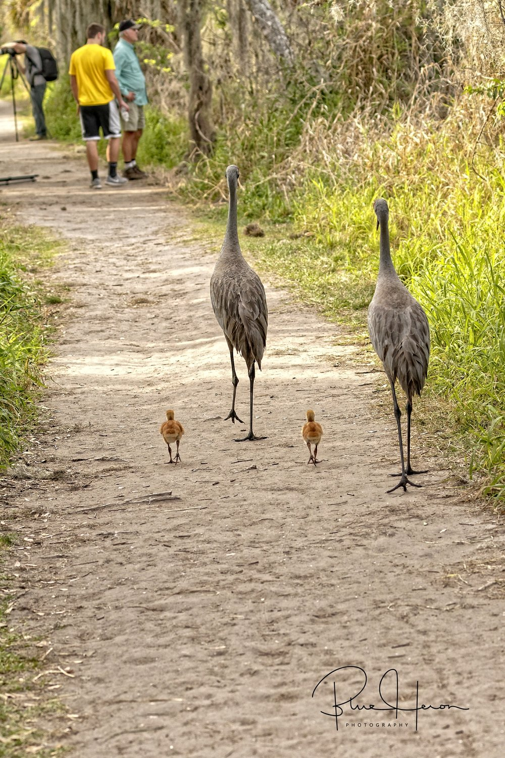 We encounter a Sandhill Crane pair with colts along our path