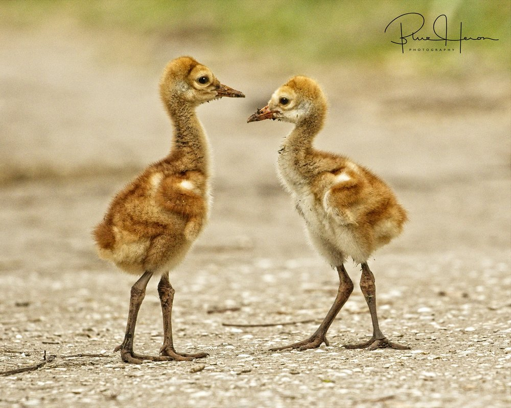 "Baby Sandhill Cranes are called ""Colts"""