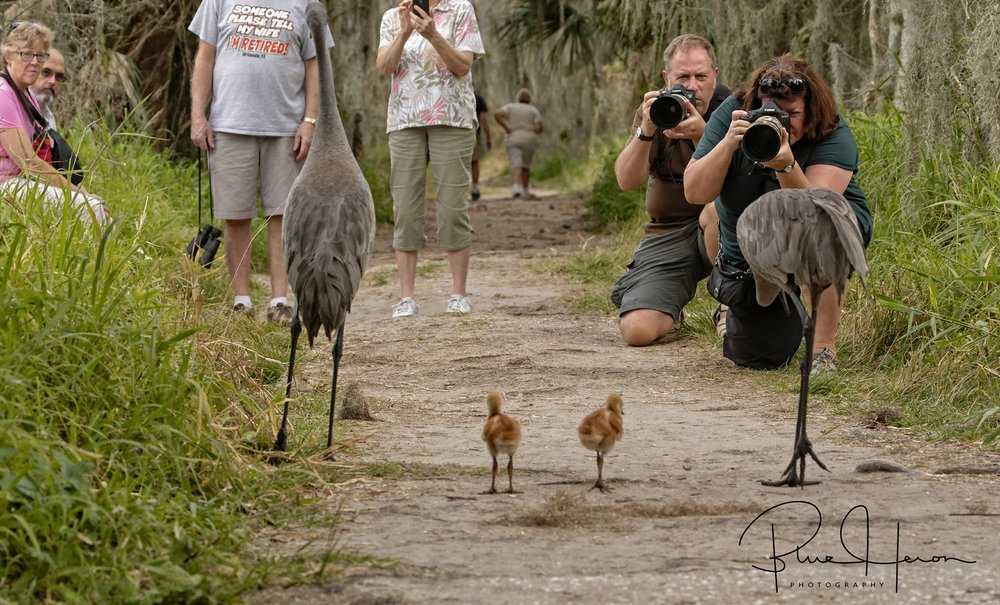 The Sandhill family encounter some tourist and photographers blocking the path