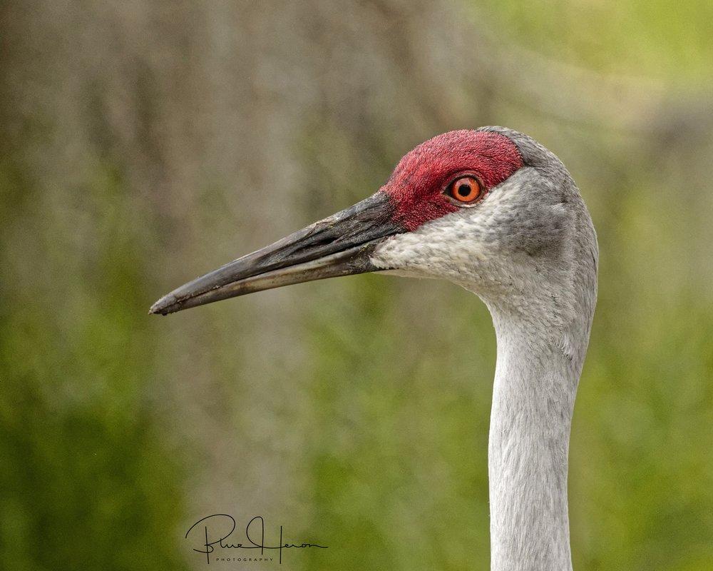 Sandhill Crane Adult profile