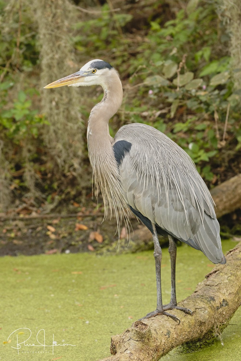 We also encountered the handsome Great Blue Heron on the walk