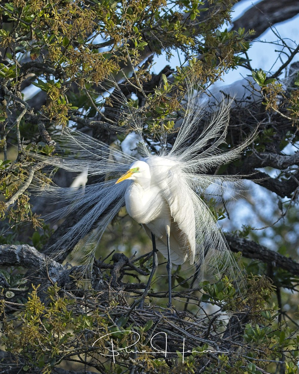 Spring is in the air all right...The Great Egrets were in full display to attract their mates..