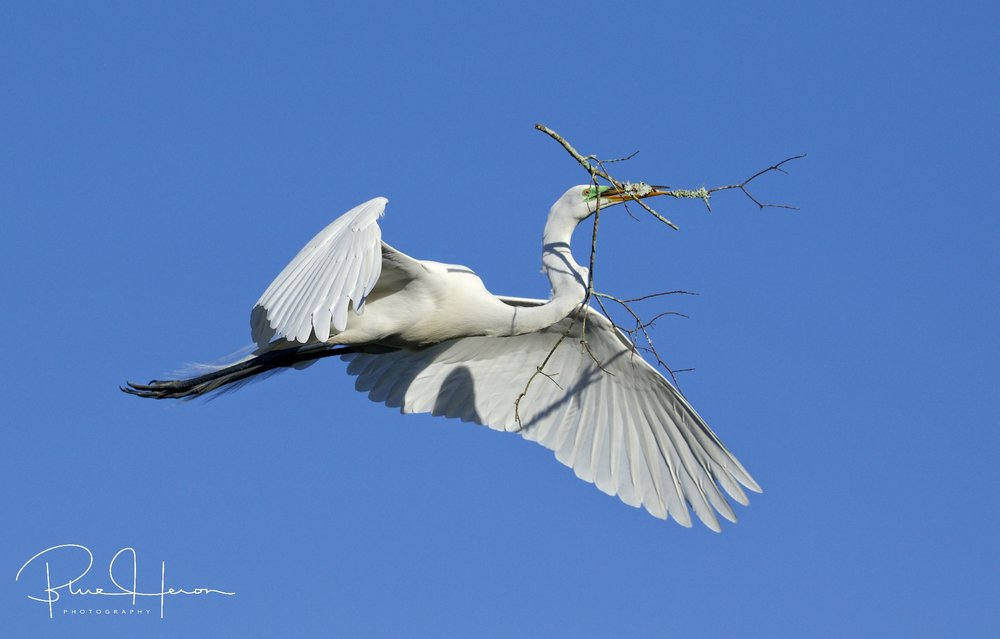 Time for nest building....Great Egret bringing back stick after stick...till its just right..