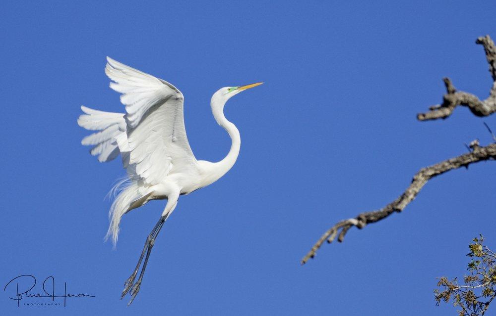 Egret rising....