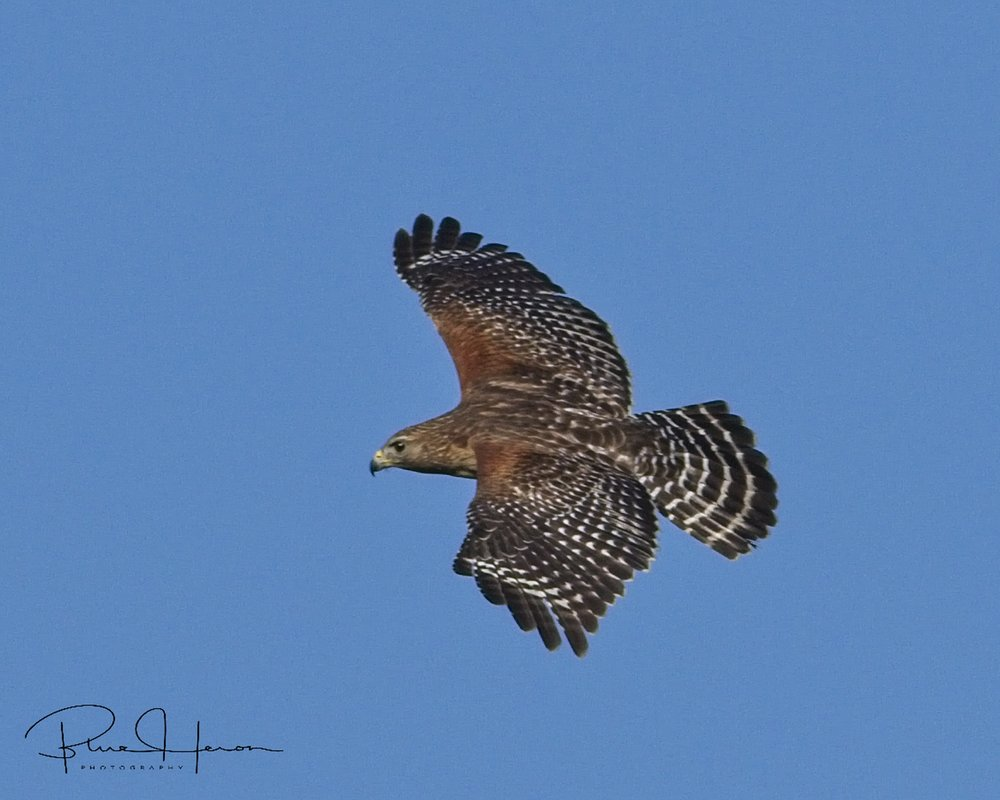 A Red Shouldered Hawk was looking for easy pickings at the nests below..