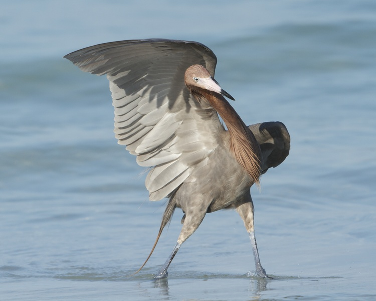 The Reddish Egret hunts in the surf zone and shallow waters using its wings like a matadors cape to find food. There is a white morph also of this bird and that was the one on my bucket list that I call the Great White Ghost because it is rarely seen.