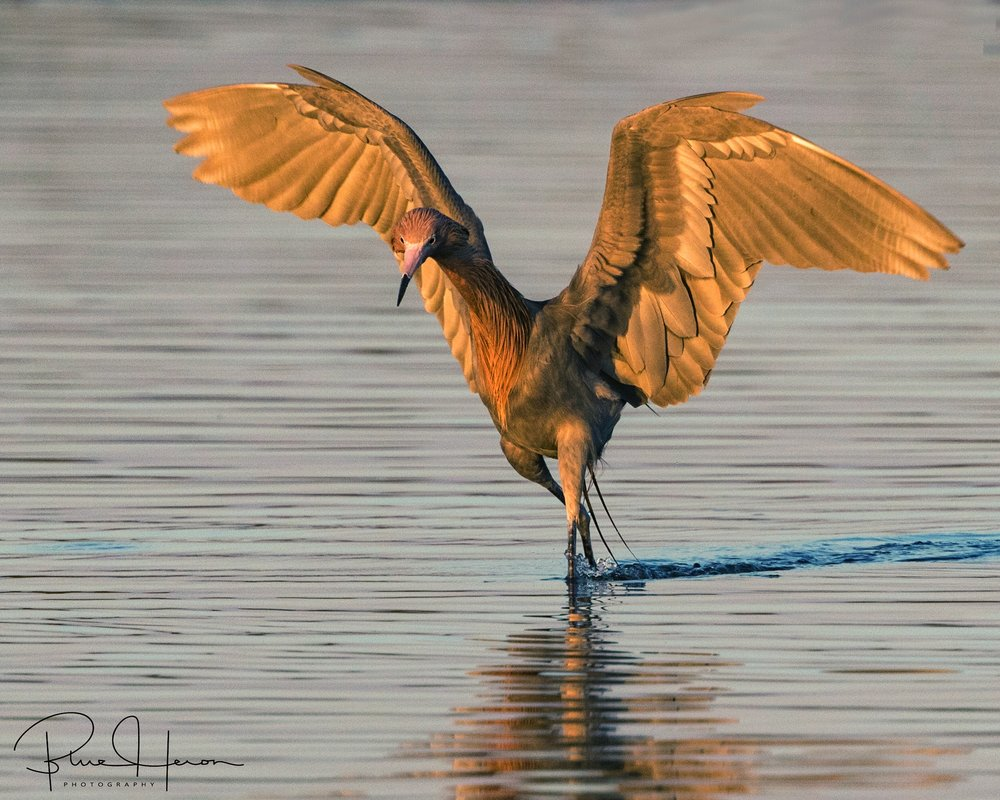 "Reddish Egret ""dancing"" in the shallow water as it hunted for food in the early morning light."