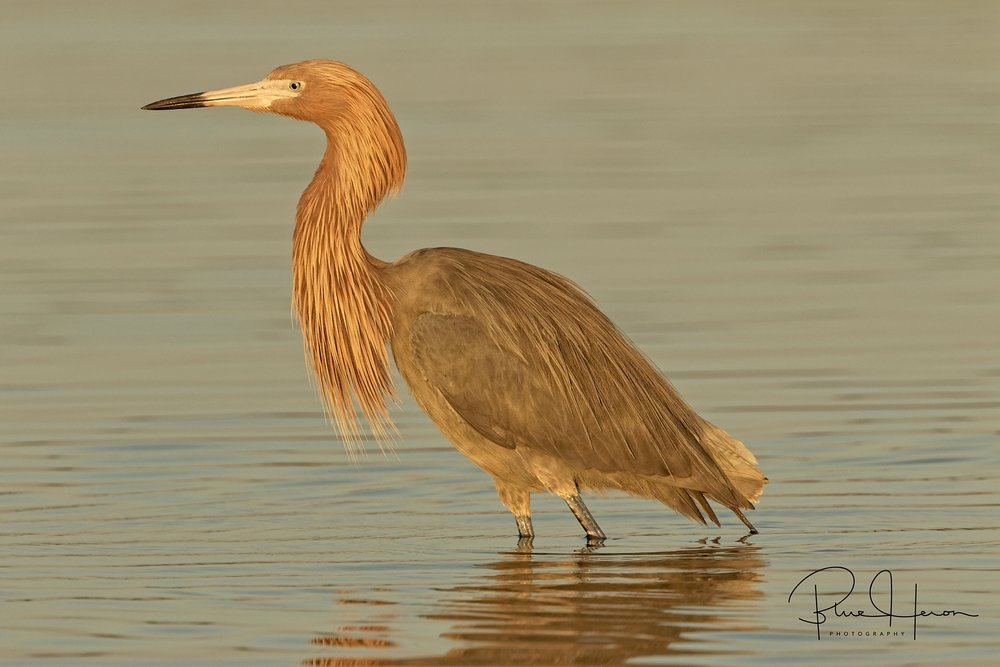 "View through the lens of ""Big Red"" the Reddish Egret (dark morph) in early morning glow"
