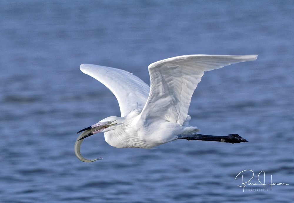 "I finally capture a photo of ""the Great White Ghost"", a rare White Morph Reddish Egret..Thank you Lord and Thank You Maxis..One less on the Bird Bucket List now..."