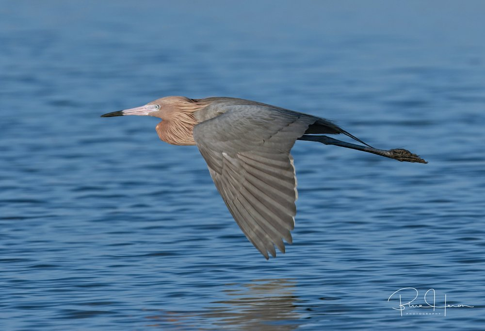 Big Red, the Reddish Egret in flight...