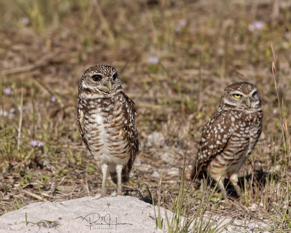On an earlier excursion to Cape Coral I found a rare dark eyed Burrowing Owl caused by a genetic abnormality.