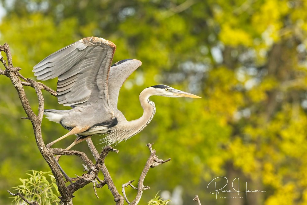 Great Blue Heron about to take off..