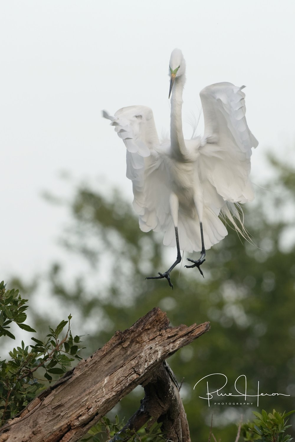 Great Egret touching down like an Angel