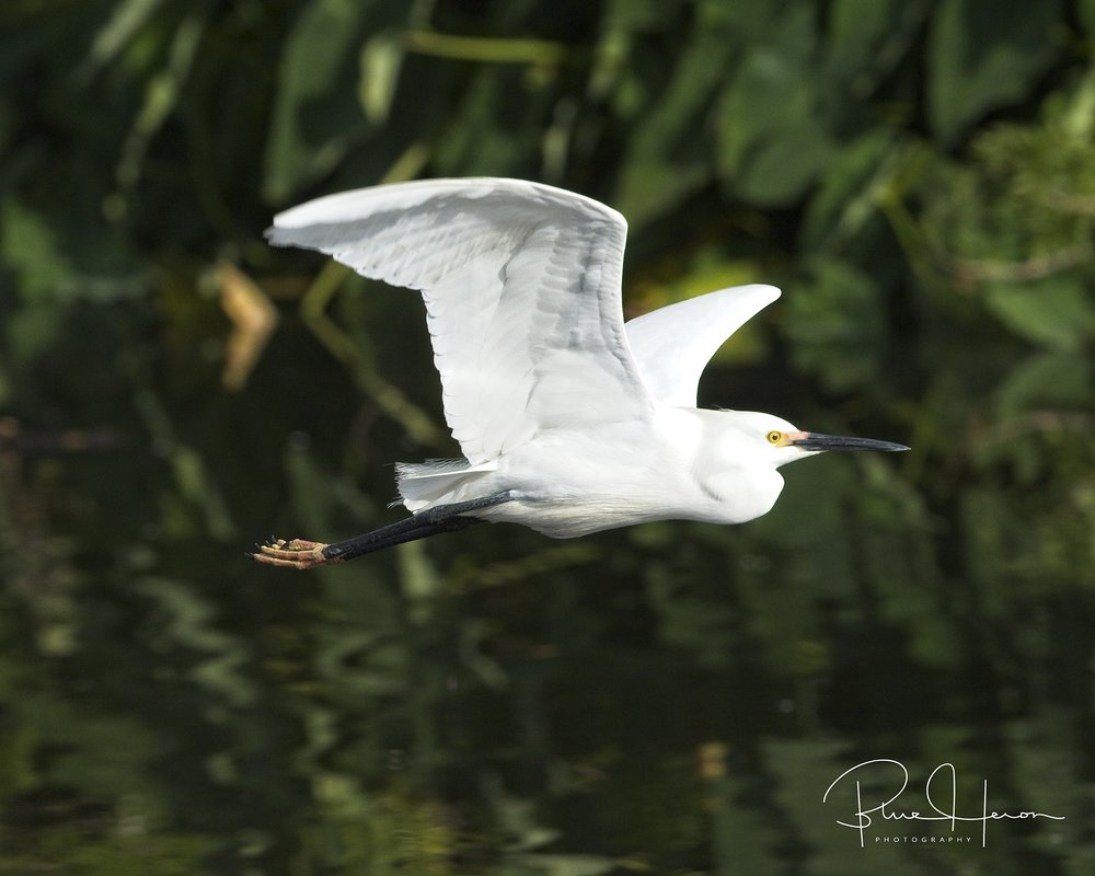 Snowy Egret fly by at Gatorland