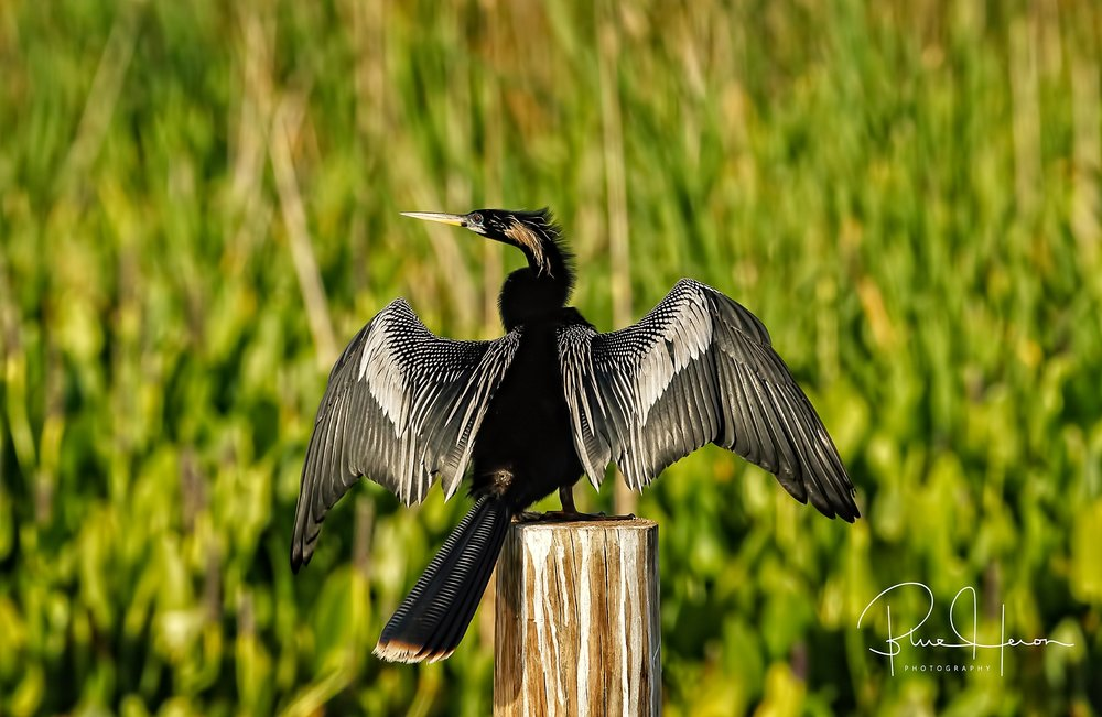 Male Anhinga drying its wings,,,note the oil gland nipple at the base of the tail.