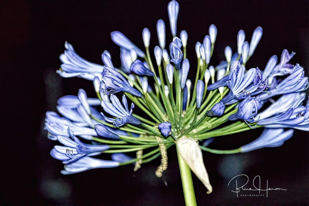 The Editors Agapanthus are nearly fully bloomed now.