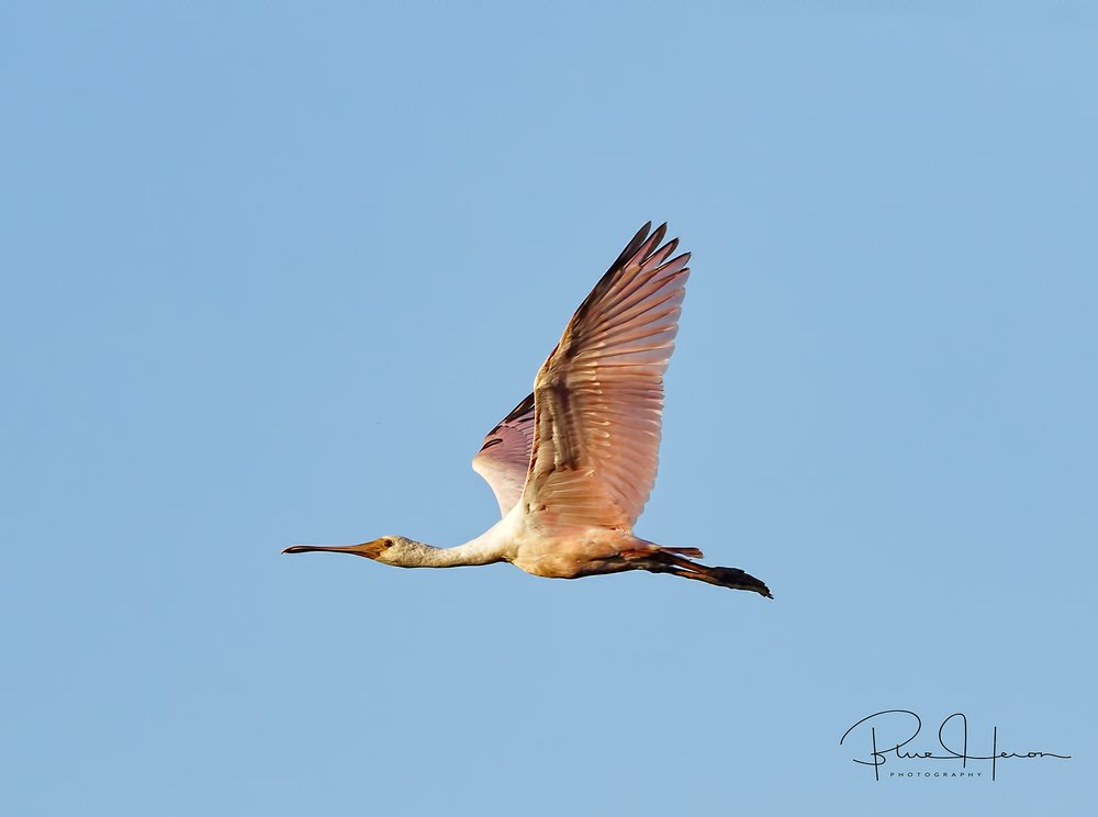 First sighting of Roseate Spoonbills on the Broward, summer is not far behind.