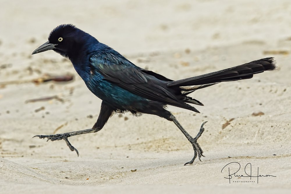 Time to hit the beach...Boat-tailed Grackle struts down the beach trying to impress the gals