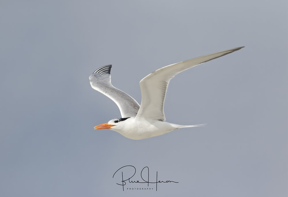 The Royal Terns are nesting and still in the dunes..