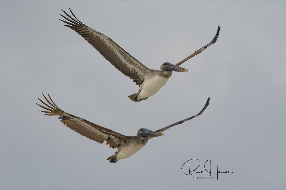 Synchronized Pelicans fly up the beach ...