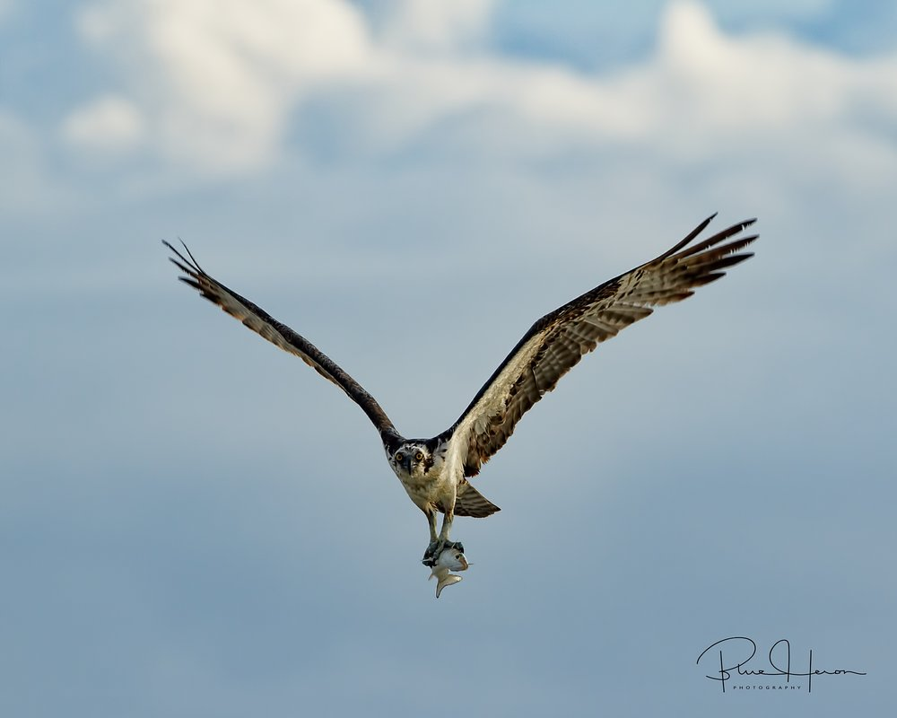 The early morning fishing was good for this Osprey