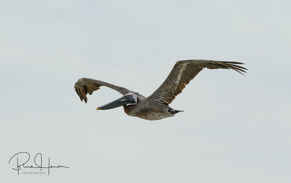 I see you there Mr Doohickey..Brown Pelican cruising the surf zone.