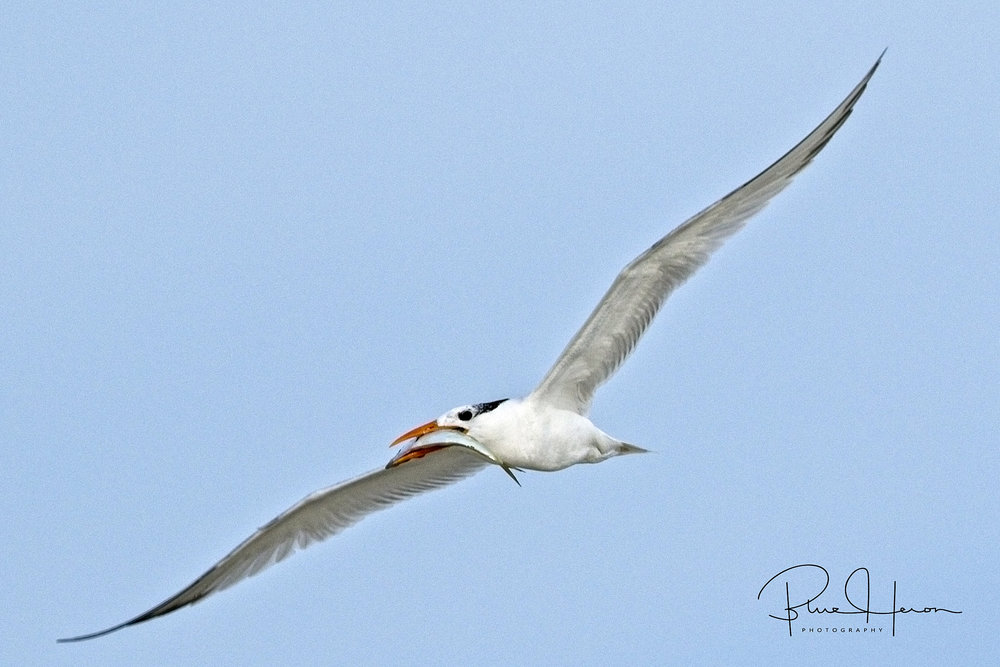 This Royal Tern now has the seeming unending task of filling up a hungry little beak..
