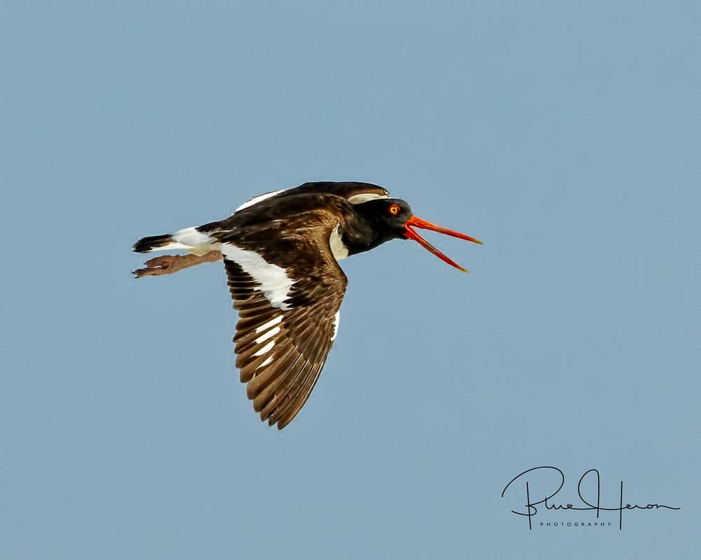 The Oystercatcher is one of my favorite shorebirds..