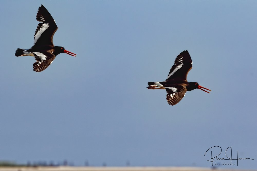 A pair of Oystercatchers circle the beach..