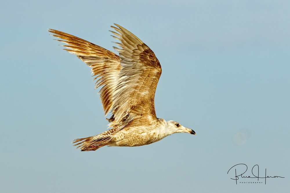 Ring-billed Gull, Juvenile..